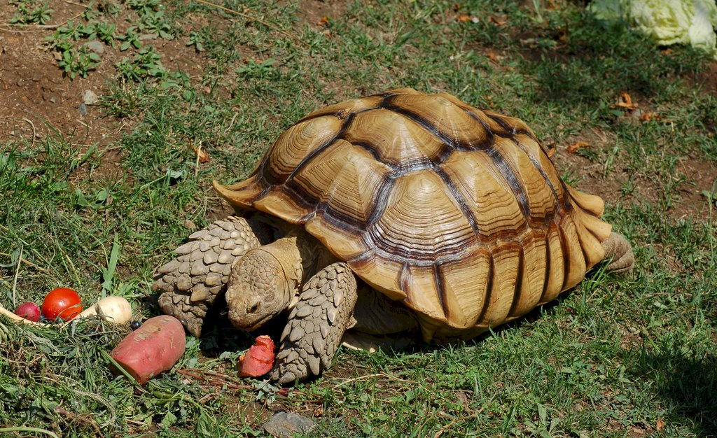 Oakland_Zoo_-_African_Spurred_Tortoise_03-WIKIPEDIA.jpg